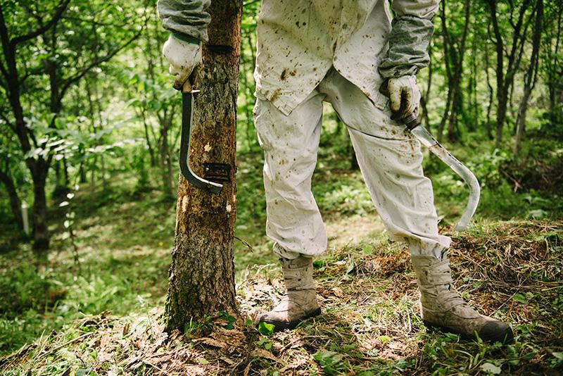 作業をする前に、ウルシの木の周辺もきれいに下刈りする。皮取カマで幹の表面の表面を平らにして掻き作業が始まる。