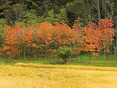 ウルシの紅葉